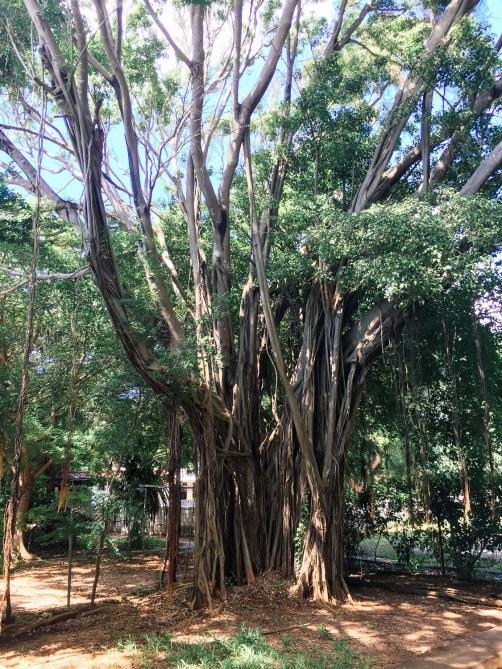 Onnela, der Lianen-Baum