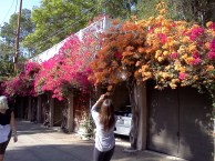 Everyone wants a picture of the Bougainvillea, right?