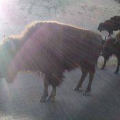 Buffalo on the Wildlife Loop
