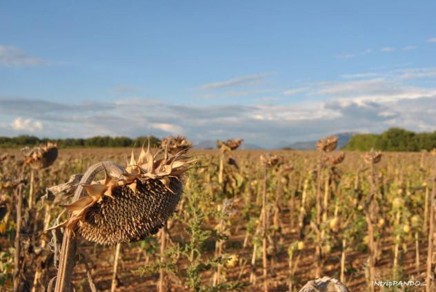 Campo di girasoli in Provenza