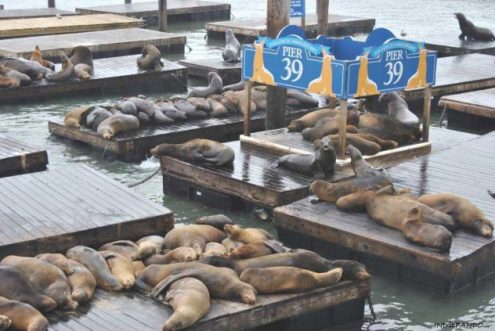 leoni marini al Pier 39 di San Francisco