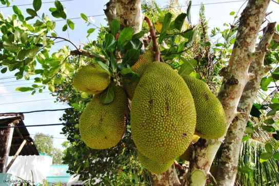 Il jackfruit, frutto tipico del delta del Mekong