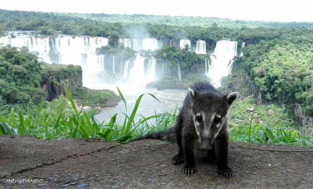 Un piccolo coato davanti alle cascate di Iguazu