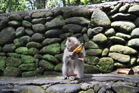 Scimmia mangia banana nella Monkey Forest a Bali