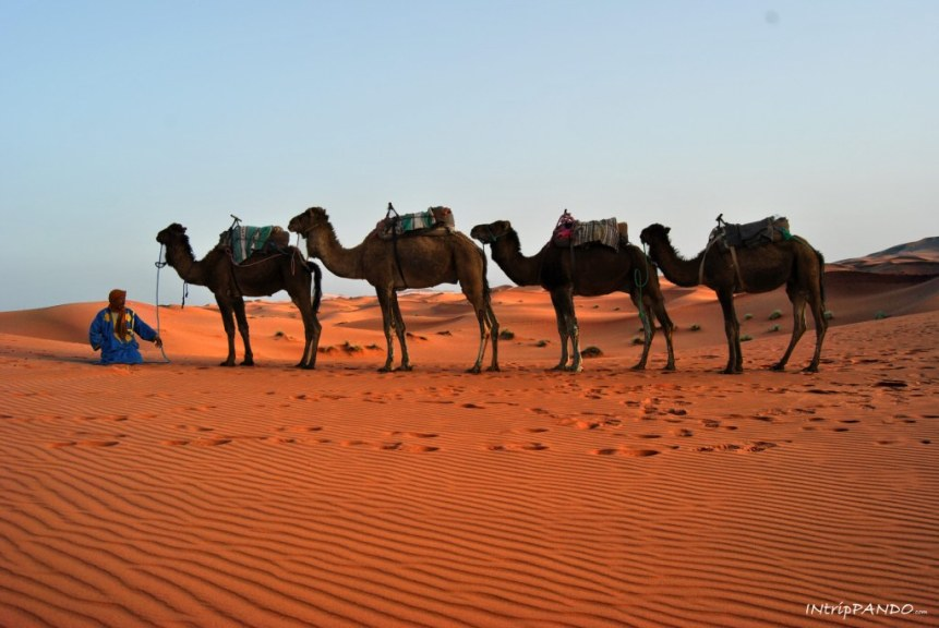 cammelli nel deserto del Sahara