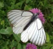 Schmetterling D