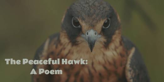 peaceful hawk a poem