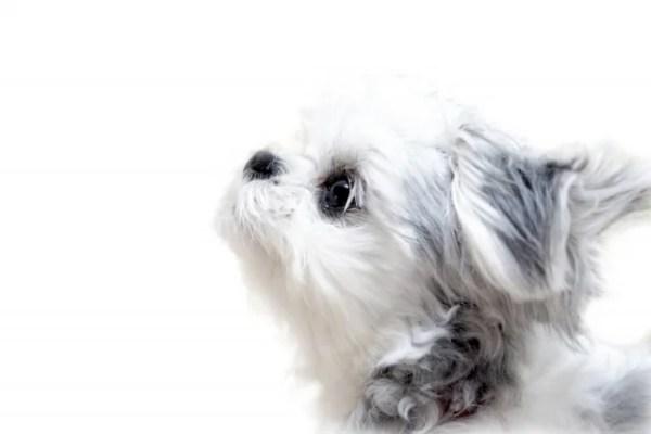 チワマルというミックス犬~見た目や体重・性格、子犬の値段や里親は?