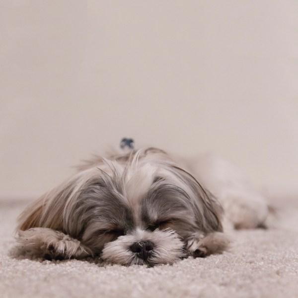 犬の肥満と生活習慣病の関係~皮膚病や精神疾患・認知症の予防と対策