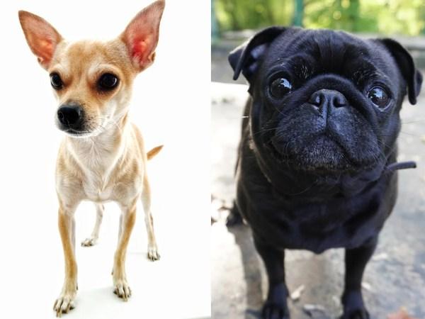 チワパグ(チワワとパグのミックス犬)の大きさや性格、画像や動画