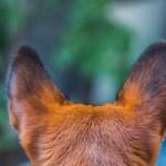 犬の耳~驚きの耳の聴力やその犬がその耳の形になった理由