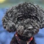 シープーというミックス犬~容姿や大きさ・抜け毛、子犬の価格や里親