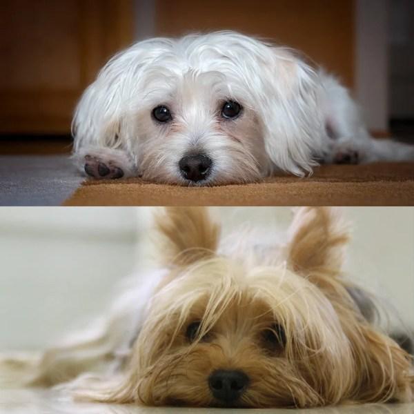 マルキーというミックス犬~性格や容姿・大きさ、子犬の価格や里親は?