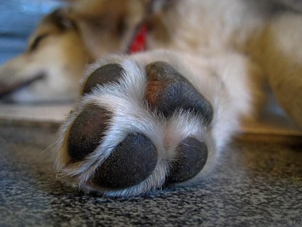 犬の肉球の役割や機能~ニオイの秘密から肉球便利グッズの口コミレビュー