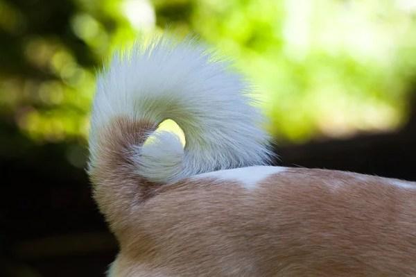 犬の諺 犬の尾を食うて回る(いぬのおをくうてまわる)
