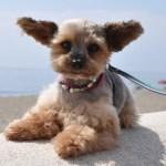 珍しい種類のミックス犬30種以上~ありえない配合のハーフ犬やデメリットは?