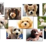 【2019年】ミックス犬30種を人気順にランキング~インスタ映え検索