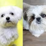 マルシーズーというミックス犬~気になる容姿や大きさ、価格や里親は?