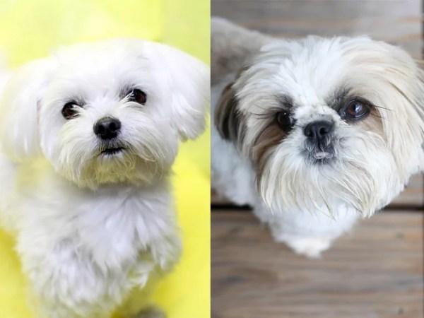 マルシーズーというミックス犬~気になる容姿や大きさ、値段や里親は?