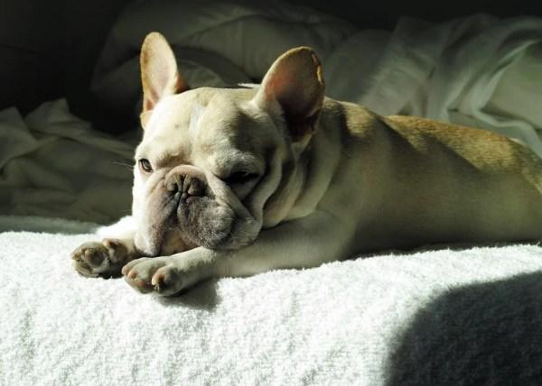老犬のフレンチブルドックを飼っている体験談~椎間板ヘルニアからの復活