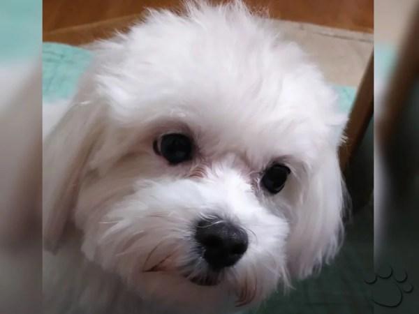 マルチーズを子犬から初めて飼う時は夜泣きに注意~私が実施した解決方法