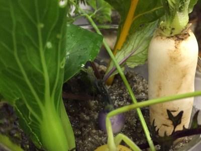 ミニ野菜のハナシ