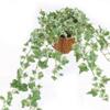 アイビーの葉