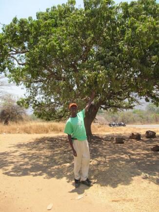 mangot-kypsyvat-kuumuudessa