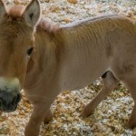 This Horse Cloned from 40 Year-Old Material Could Save Its Species