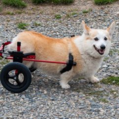 Wheel Chairs For Dogs Bariatric Lift Chair 7 Dog Wheelchairs And Mobility Aids To Help Your Move K9 Cart Rear Wheelchair