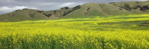 mustard field, Inverness