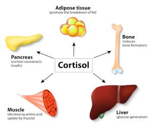 Cortisol belly fat