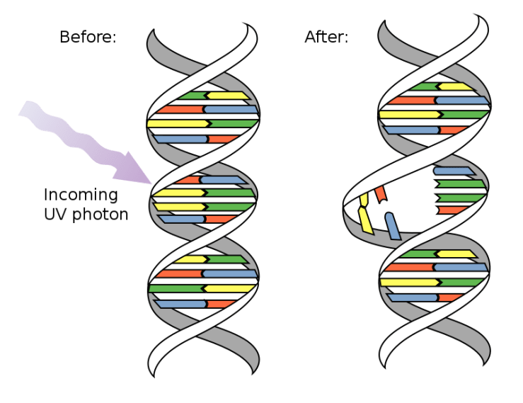 A diagram showing UV light breaking down a strand of DNA.