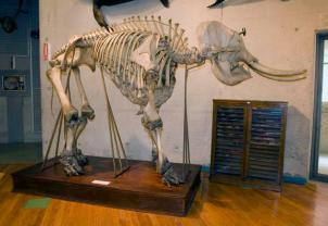 Esqueleto del Elefante asiático.