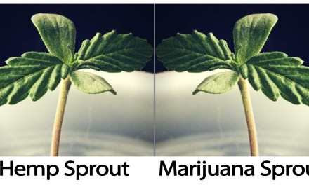 Cannabis Sativa. One Plant, Two Laws