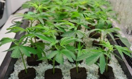 Medical marijuana company expects to become 'significant employer' in Lumby – InfoTel News Ltd
