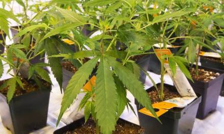 Strathcona County addresses cannabis production facilities, plans to amend land-use bylaw