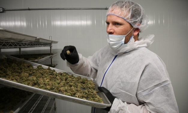 Genetic pot-pourri: Why cannabis strains don't all live up to their billing