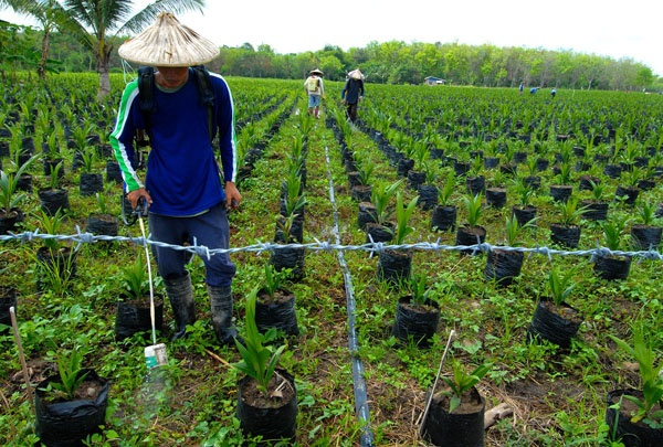 Mindanao aims to become palm oil hub