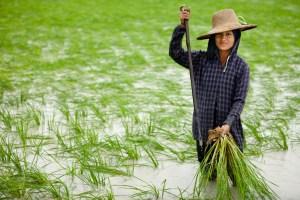 rice-farmer1