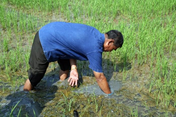 Thai rice farming_Arno Maierbrugger