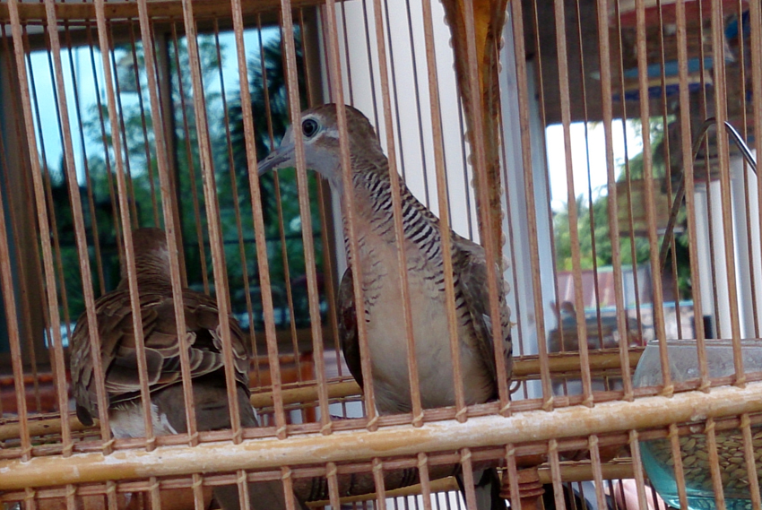 Thailand's singing zebra doves can fetch more than $90,000