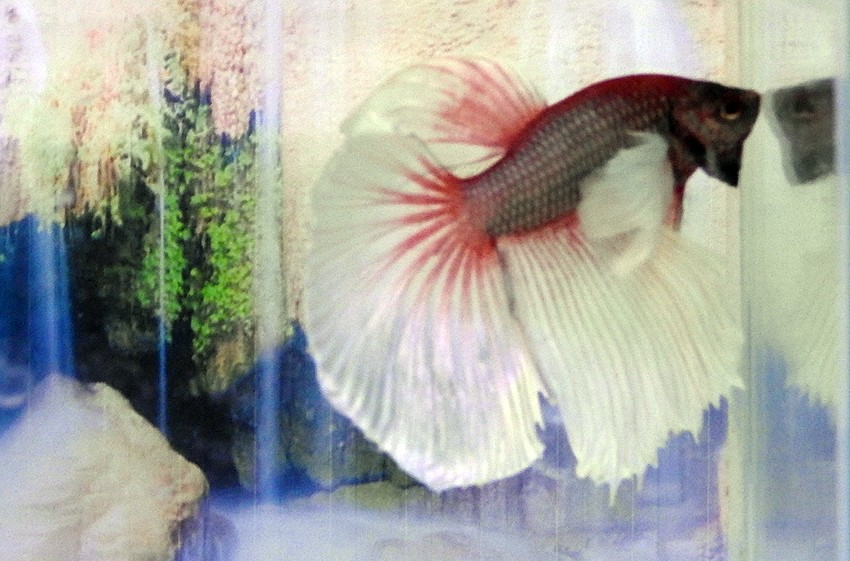 Water colours: Experiencing ASEAN's largest ornamental fish market