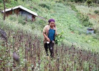 Opium cultivation in Myanmar drops further, UN says