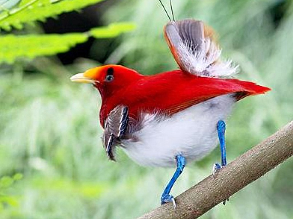 Birds of Paradise in Indonesia