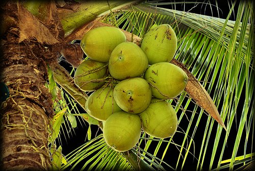 Philippines counting on coconuts