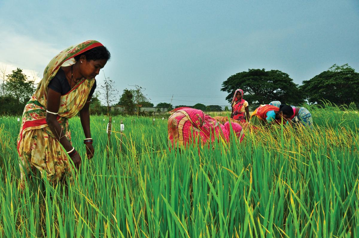 India beats Thailand as top rice exporter