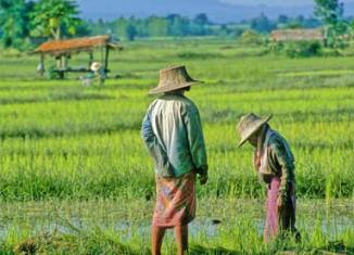 High cost to pull down Thailand's rice exports in next decade: Study