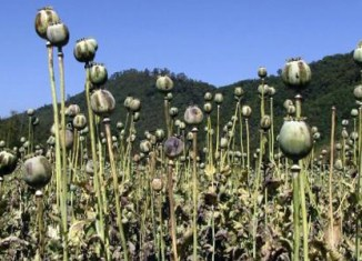 Laos' opium farmers asked to turn to vegetables