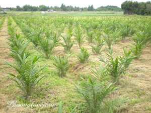Palm oil biomass to fuel green economy